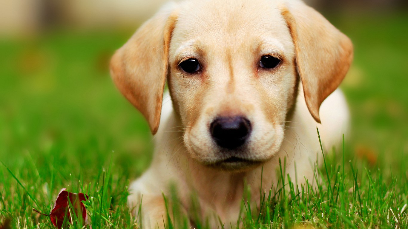 Cute Puppy Wallpaper   Download Wallpaper Nature 1366x768