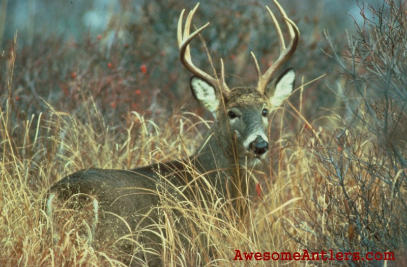 Whitetail deer and Monster Bucks Wallpapers for your PC 800x525