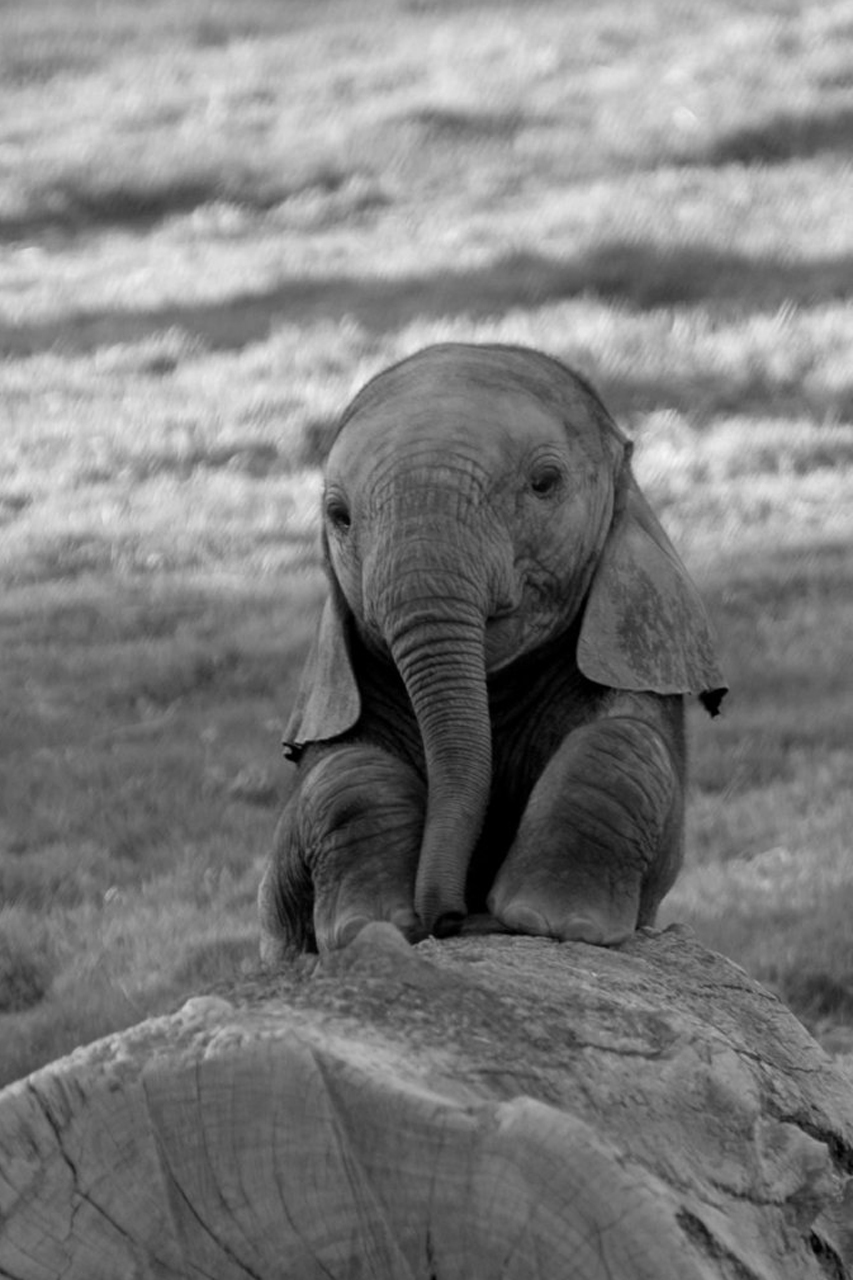 Android Phones Wallpapers Android Wallpaper Baby Elephant 853x1280