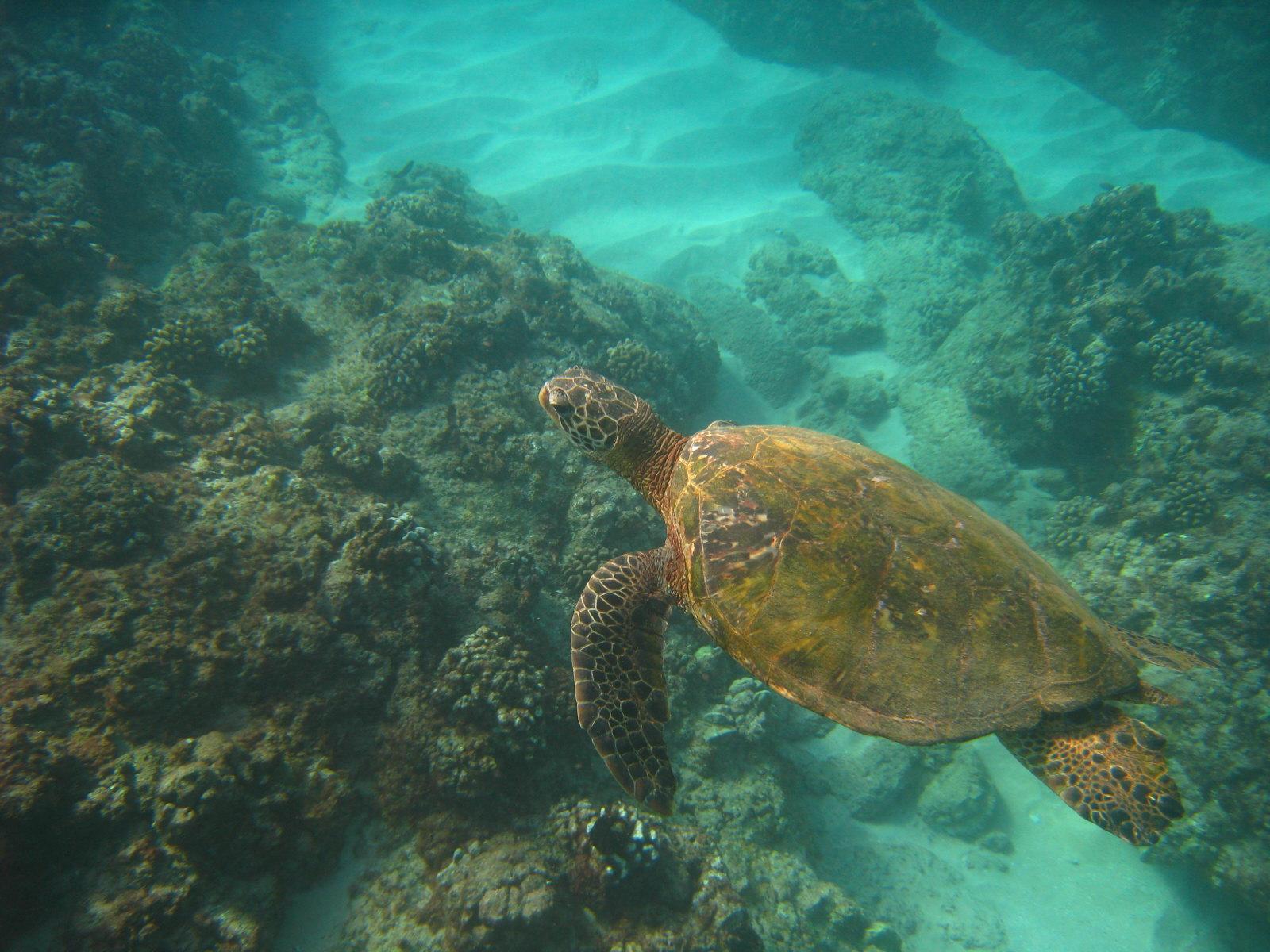 Clark Little Turtle HD Wallpaper 1600x1200