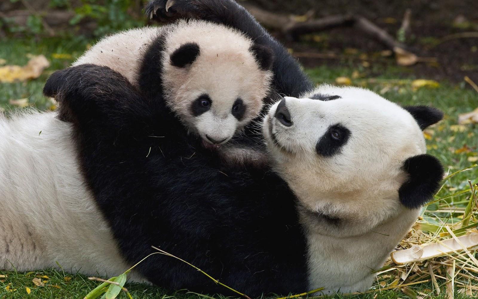 42 Baby Panda Bear Wallpaper On Wallpapersafari