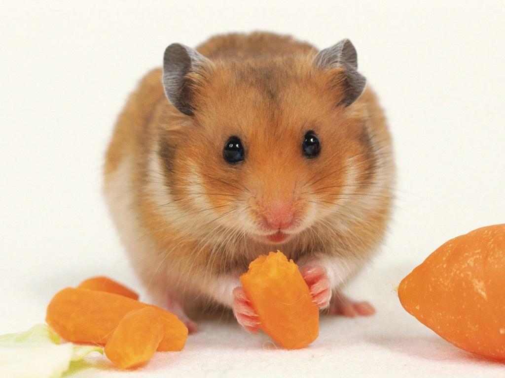 Cute Brown Hamster Wallpaper Wallpaper ME 1024x768