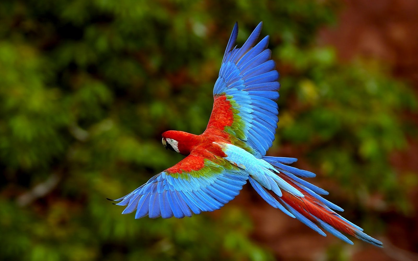 Blue with red parrot flying wallpaper HD Animals Wallpapers 1600x1000