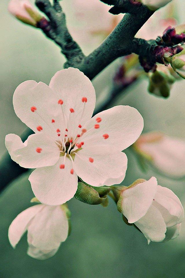 FREEIOS7 white cherry blossoms   parallax HD iPhone iPad wallpaper 640x960