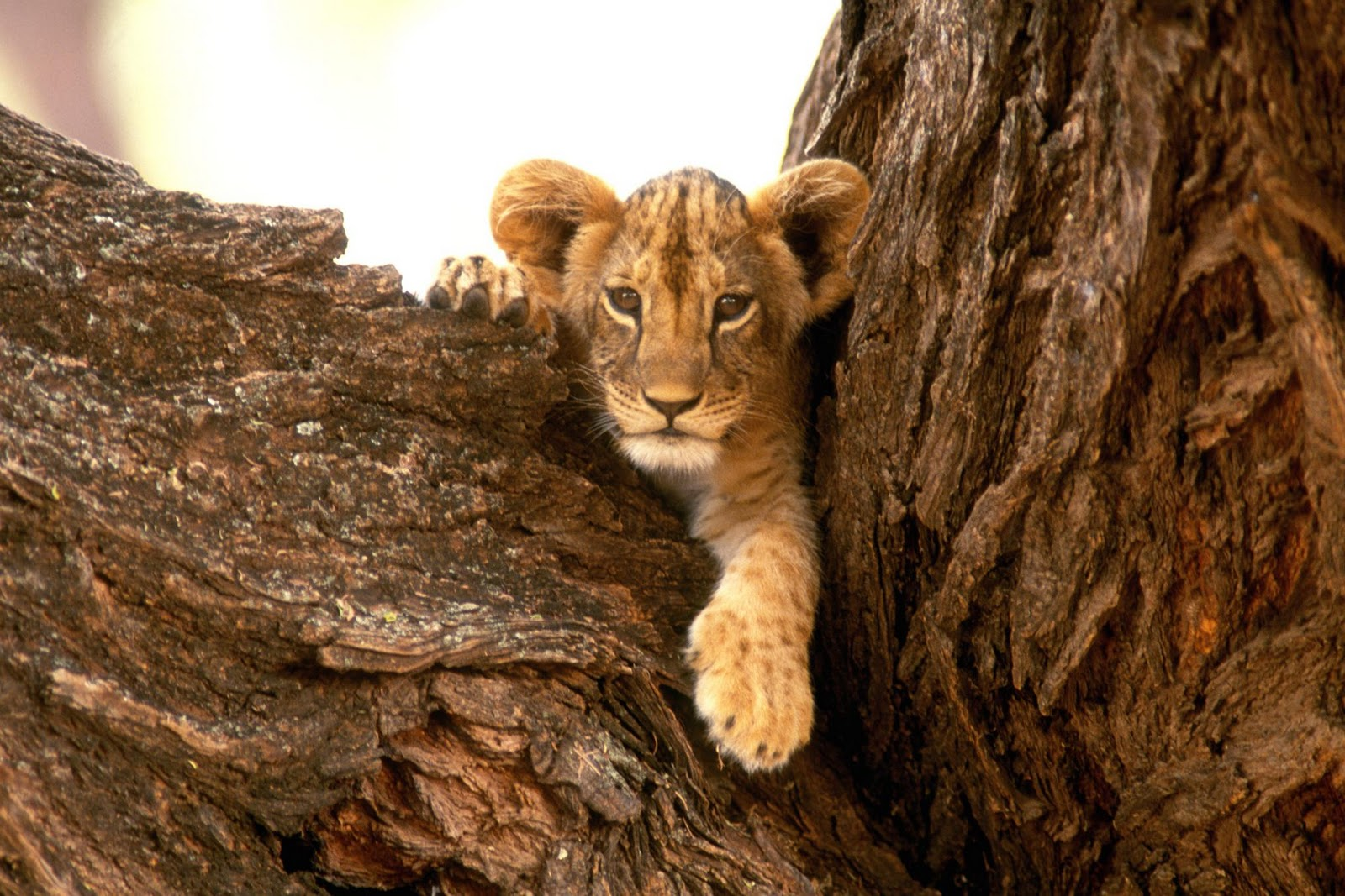 Funny wallpapersHD wallpapers lion cub wallpaper 1600x1067