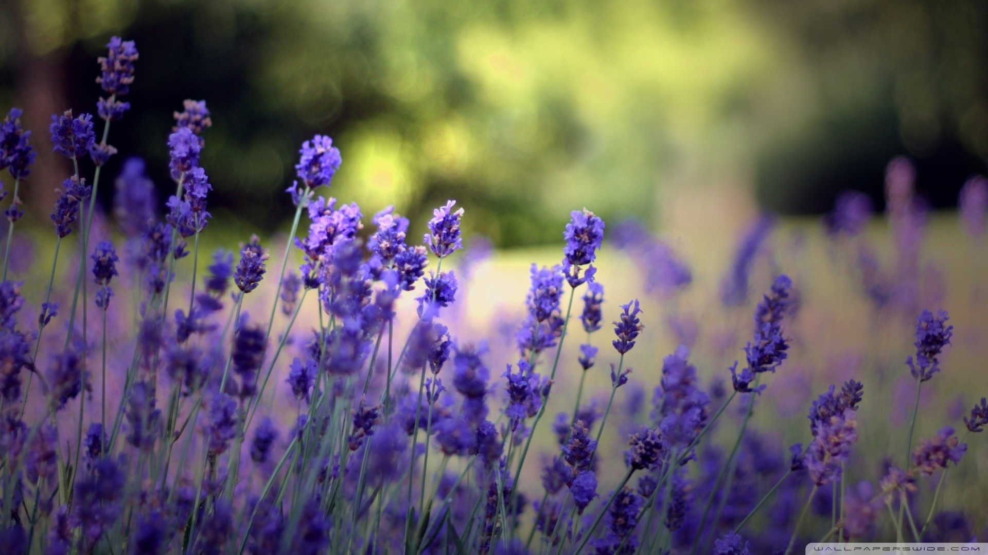 Download Beautiful Lavender Flowers Wallpaper 1920x1080 1920x1080