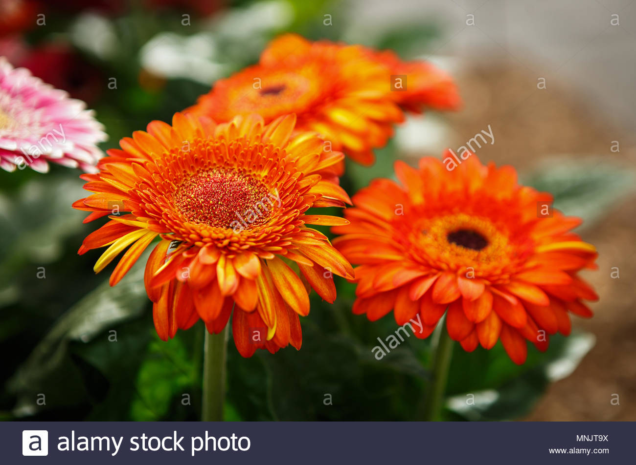 Beautiful colorful orange transvaal daisy flowers bloom in spring 1300x952
