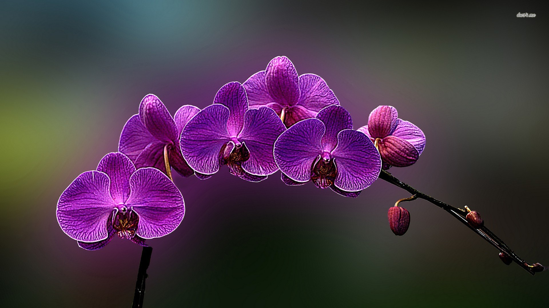 Purple Orchids   wallpaper 1920x1080