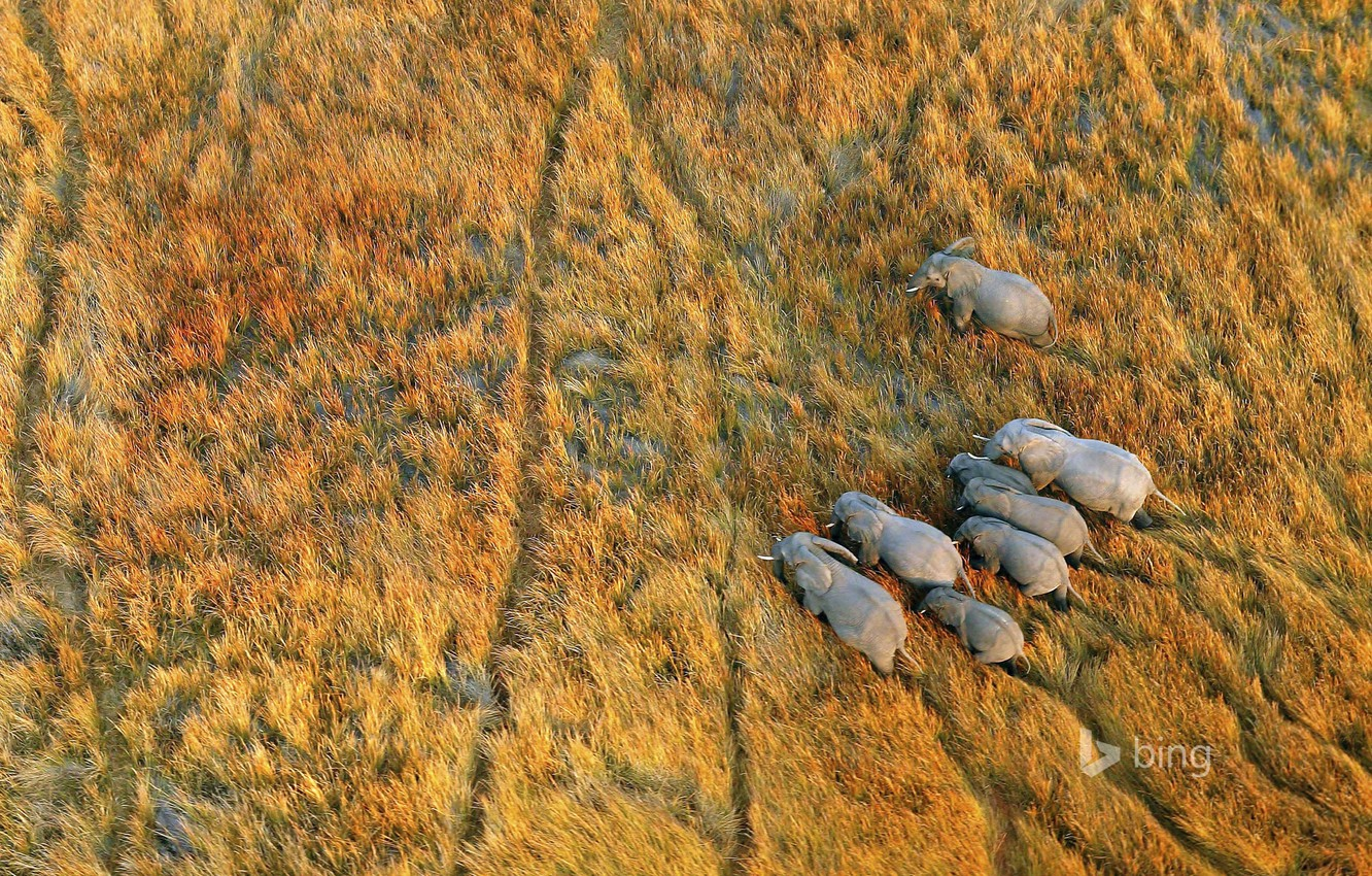 Wallpaper grass Africa elephants Botswana the Okavango Delta 1332x850