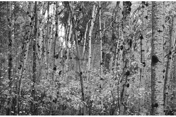 Birch Trees is a unique collection of 10 black and white shots under 592x396