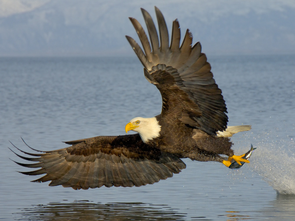 744575 744575 Bald Eagle Photos Wallpapers Animals Backgrounds 1024x768