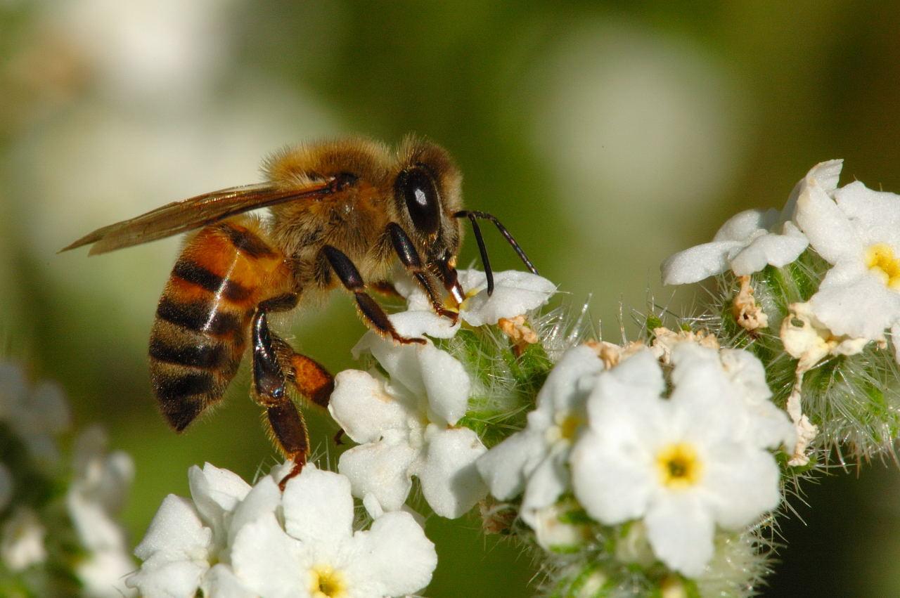 Honey Bee Pictures 1280x851