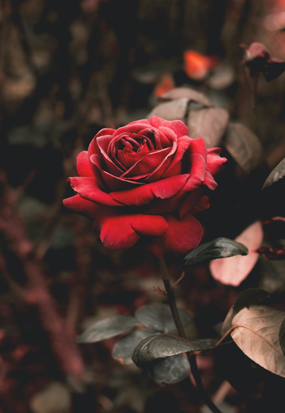350 Red Rose Images [HQ] Download Pictures on Unsplash 1000x1450