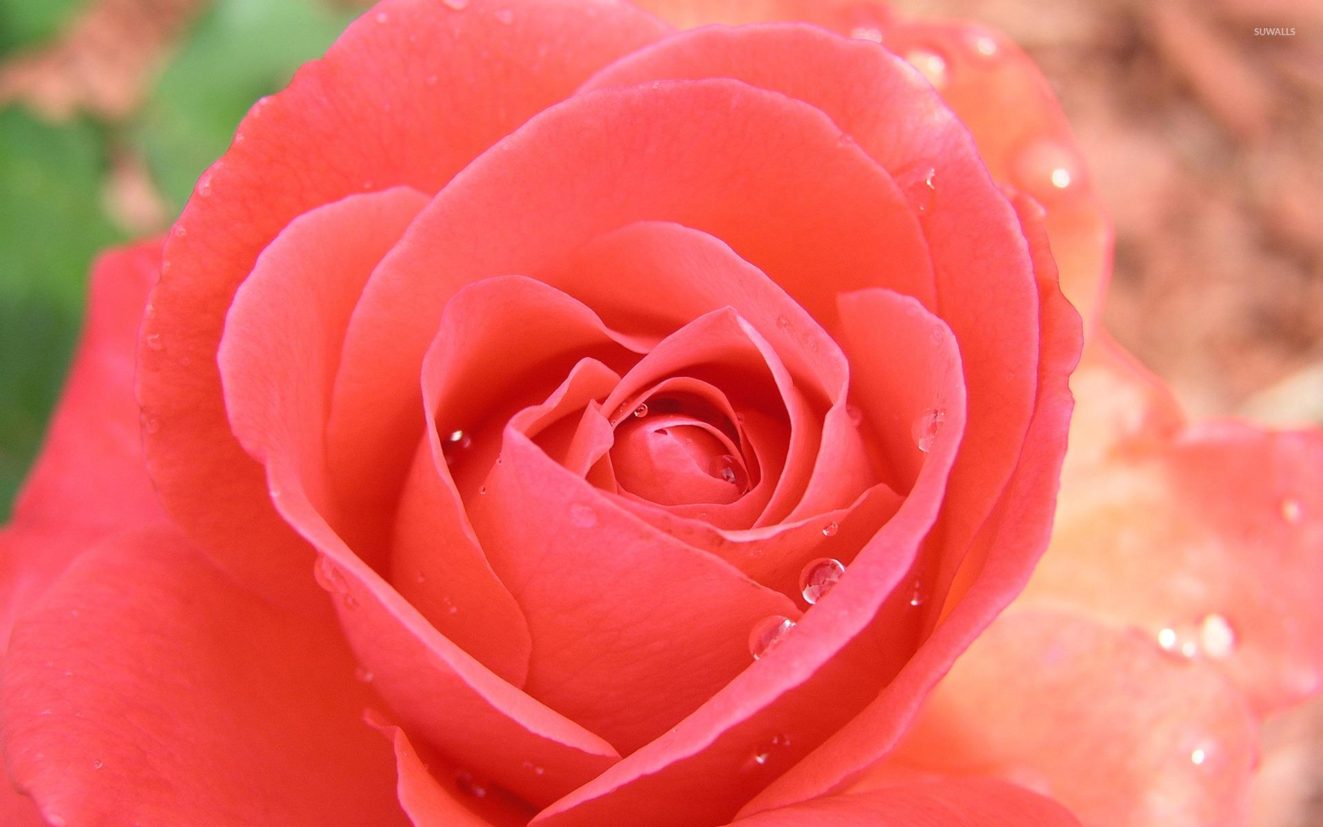 Rose With Water Drops Wallpaper Wallpapersafari