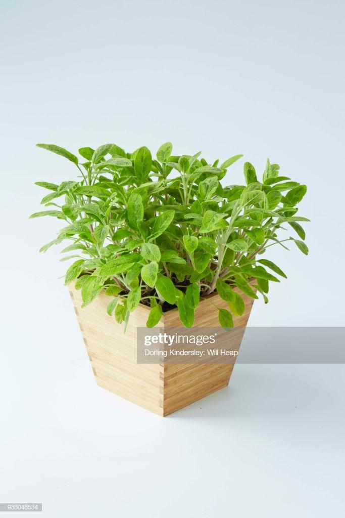 Icterina Sage Salvia Officinalis Icterina In Wooden Pot White 683x1024