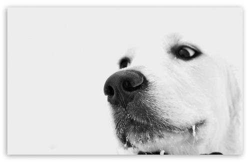 white dog winter t2 large White Dog Winter HD desktop wallpaper 500x324