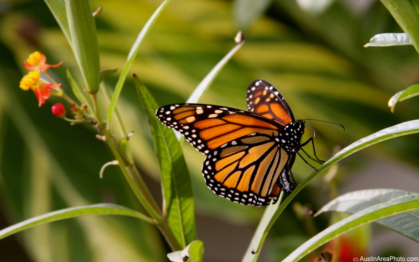 Efforts to conserve Monarch butterflies misguided 1440x900
