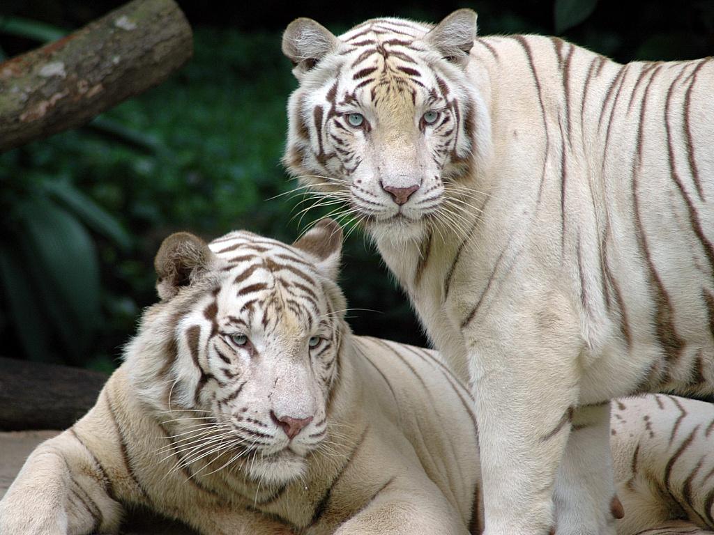 Must see Wallpaper Marvel White Tiger - 5nVMOv  Photograph_451639.jpg
