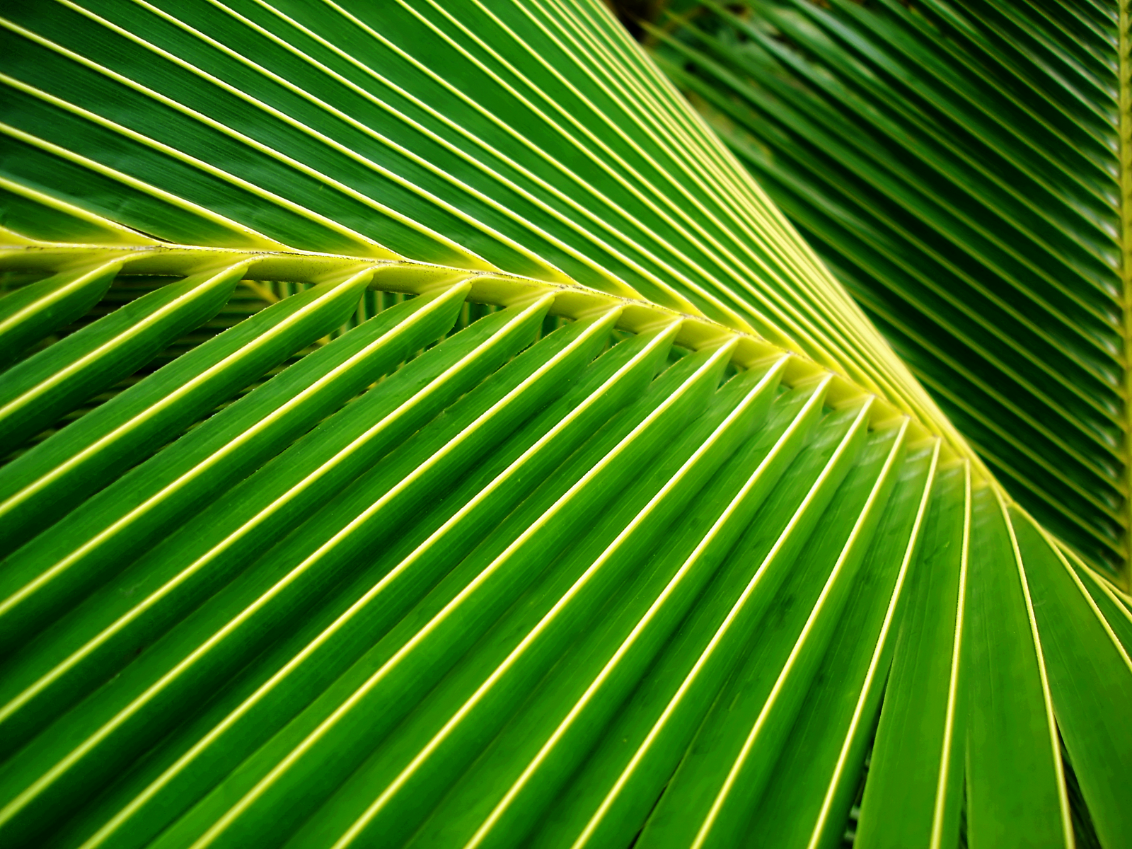 Palm Leaf Background wallpaper 1600x1200 31252 1600x1200