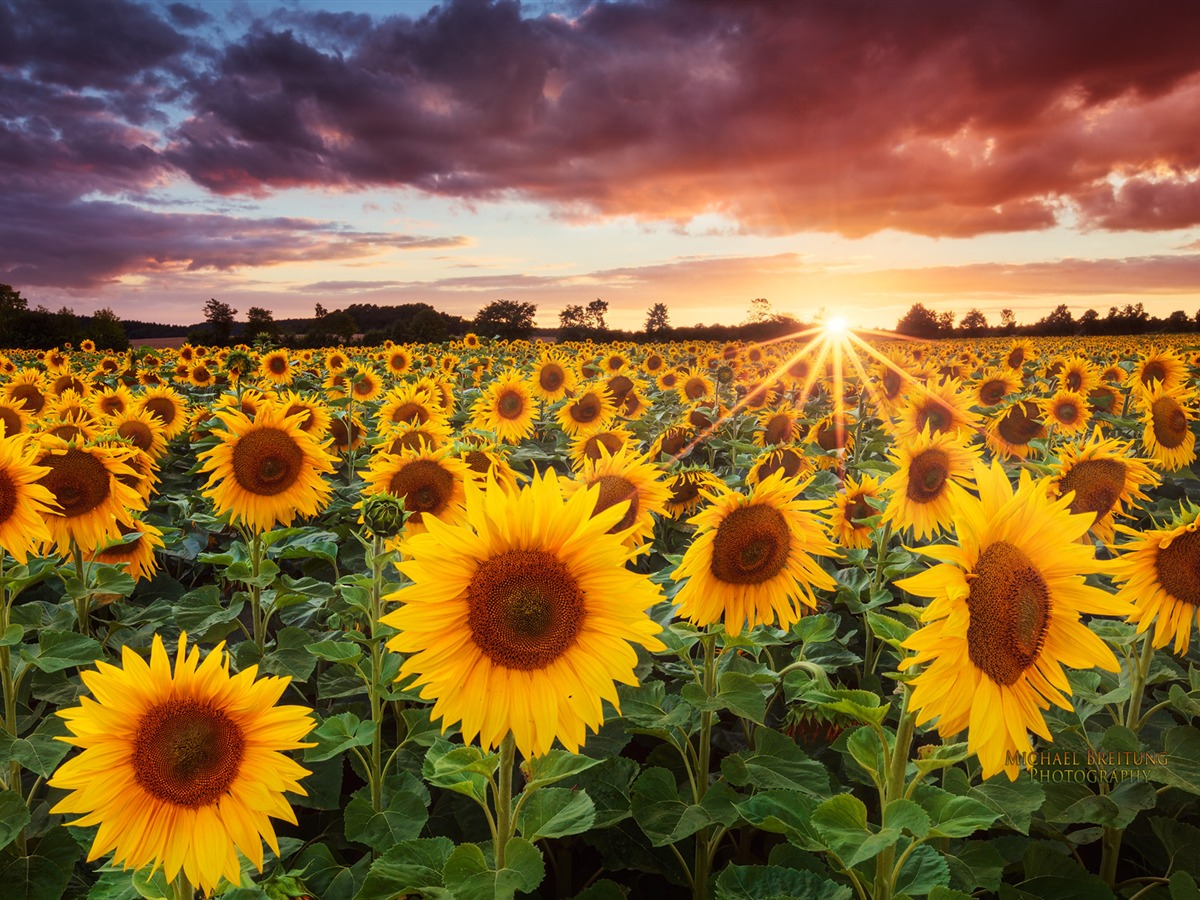 Sunflower Sunset Wallpaper Hd 1200x900