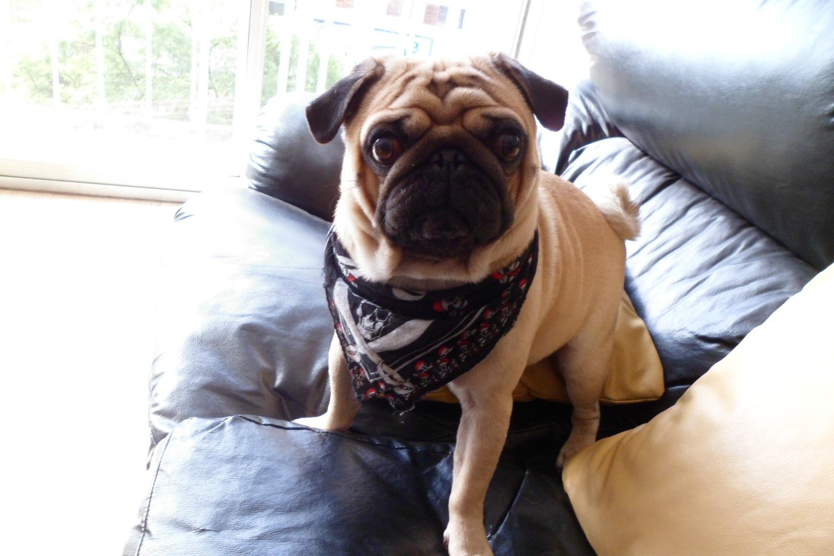 Carlino Pug Best HD Wallpapers 2013 All About HD Wallpapers 1200x800
