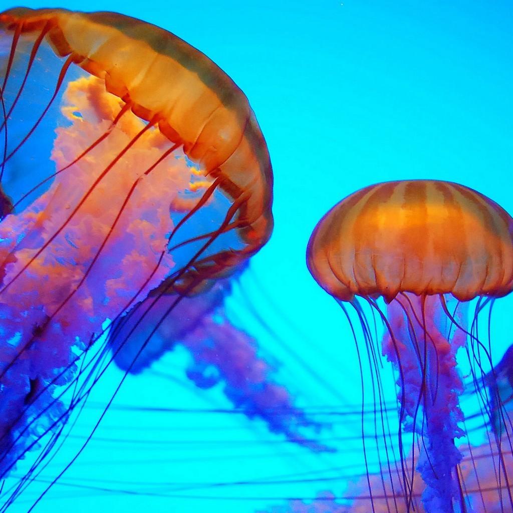 Colorful jellyfish wallpaper wallpapersafari for Jellyfish wallpaper home