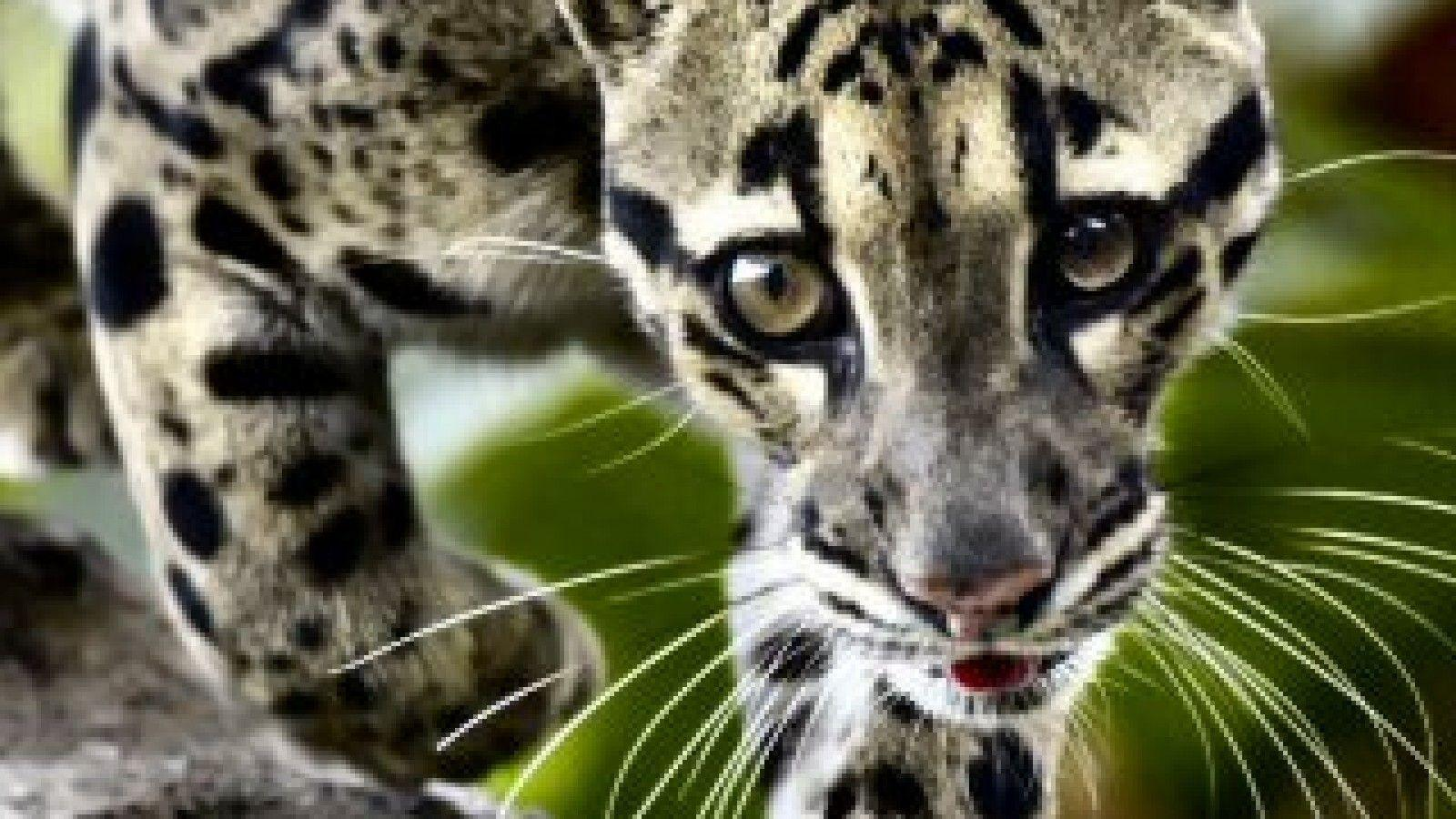 Clouded Leopard Wallpapers 1600x900