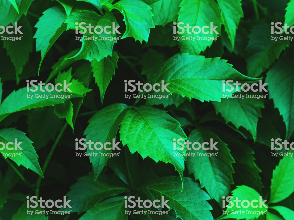 Virginia Creeper Leaves Closeup Background Stock Photo   Download 1024x768