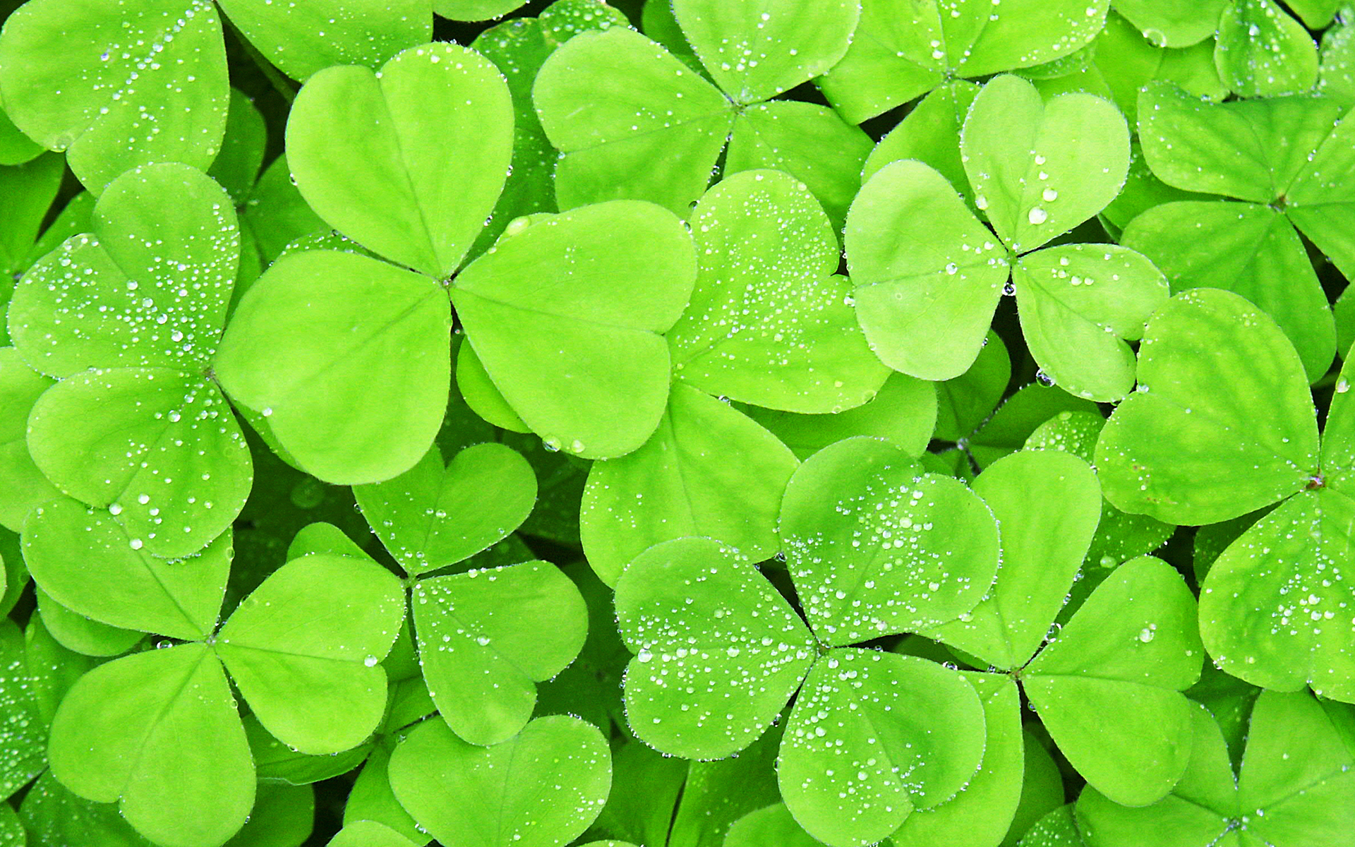 Lots of clover leaf wallpapers Lots of clover leaf stock photos 1920x1200