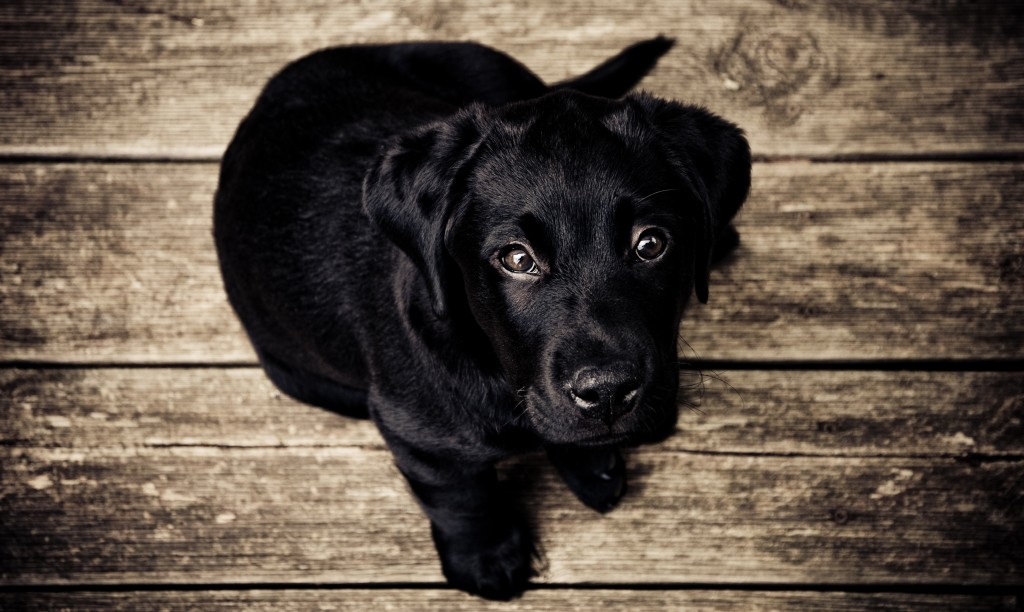 Public Domain Images   Black Lab Dog Puppy on Rustic Wood Background 1024x612