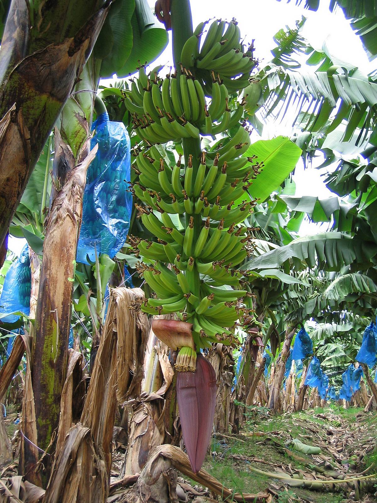 banana plants fruit zoom   banana tree 1200x1600