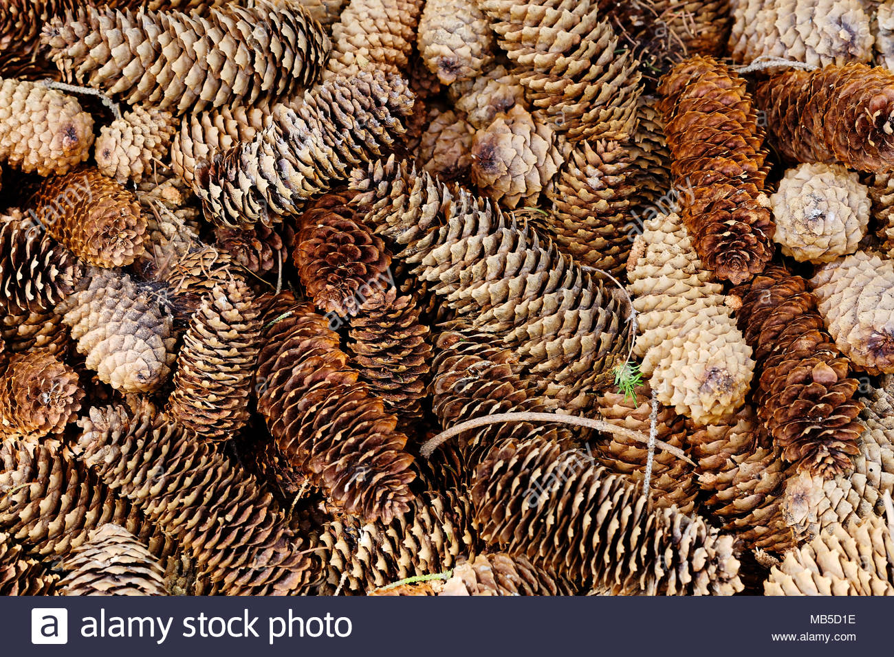 Natural pine forest ground with cones and twigs Forest soil 1300x956