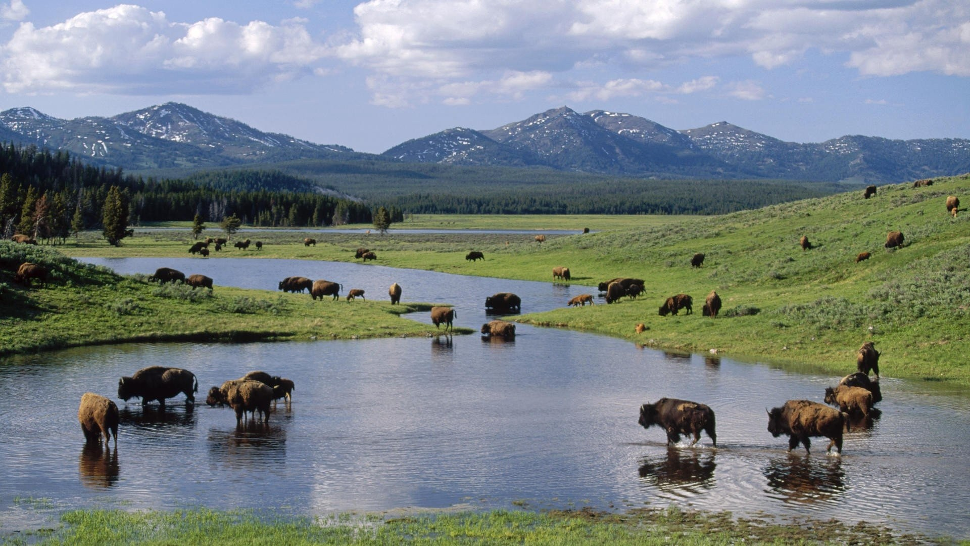 Bison Views Backgroundfree Images Yellowstone Park Windows 1920x1080