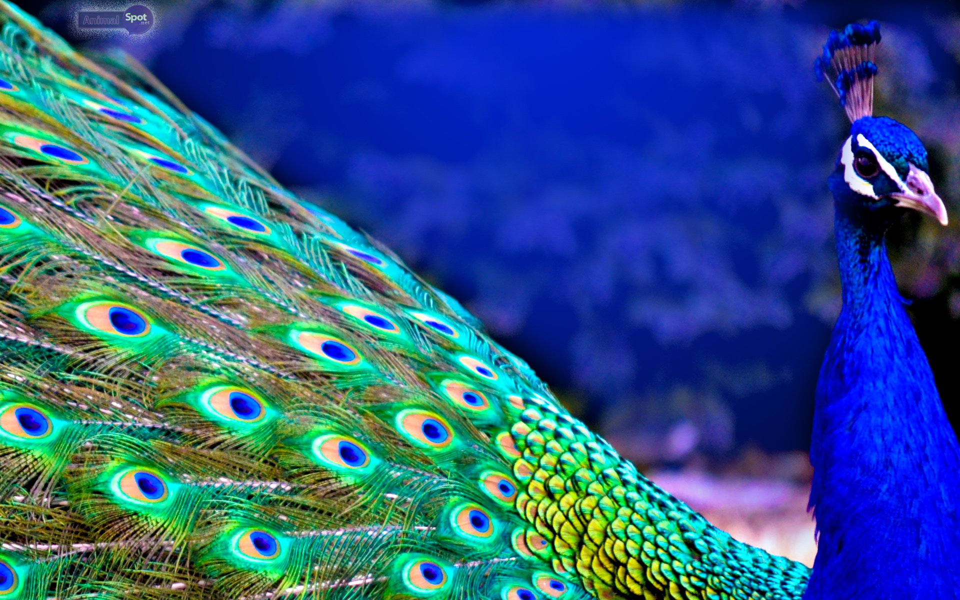 Peacock Feather Wallpaper