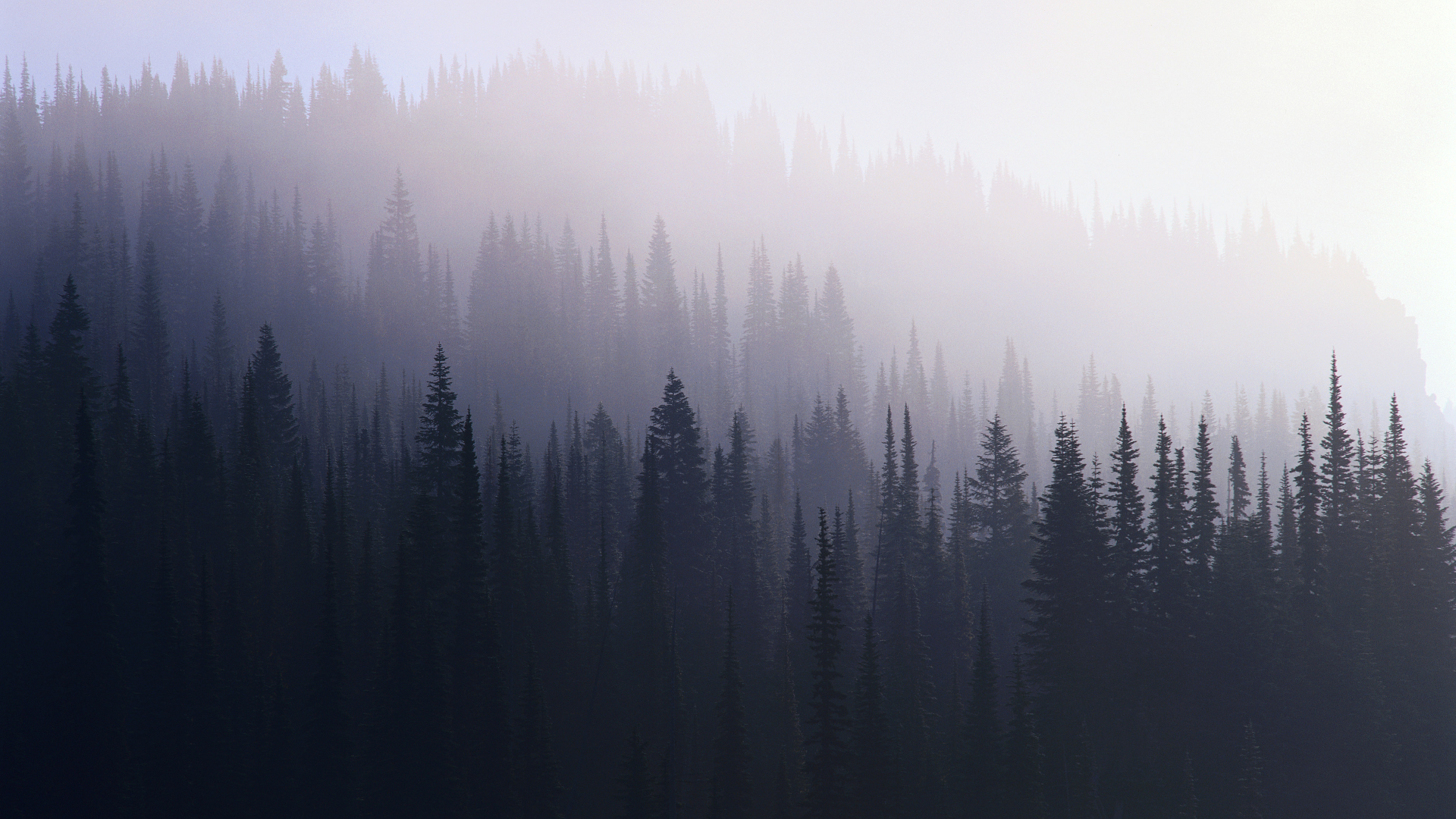 Foggy Evergreen Forest Wallpaper Landscapes trees wallpaper 1920x1080
