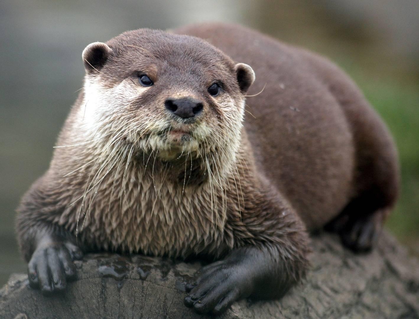 Sea OtterCommon Sea Otter Enhydra lutris lutris The Asian Sea 1418x1080