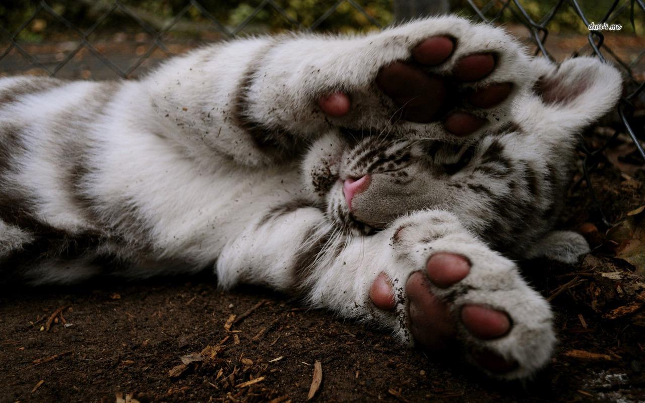 White tiger cub wallpaper   Animal wallpapers   30572 1280x800