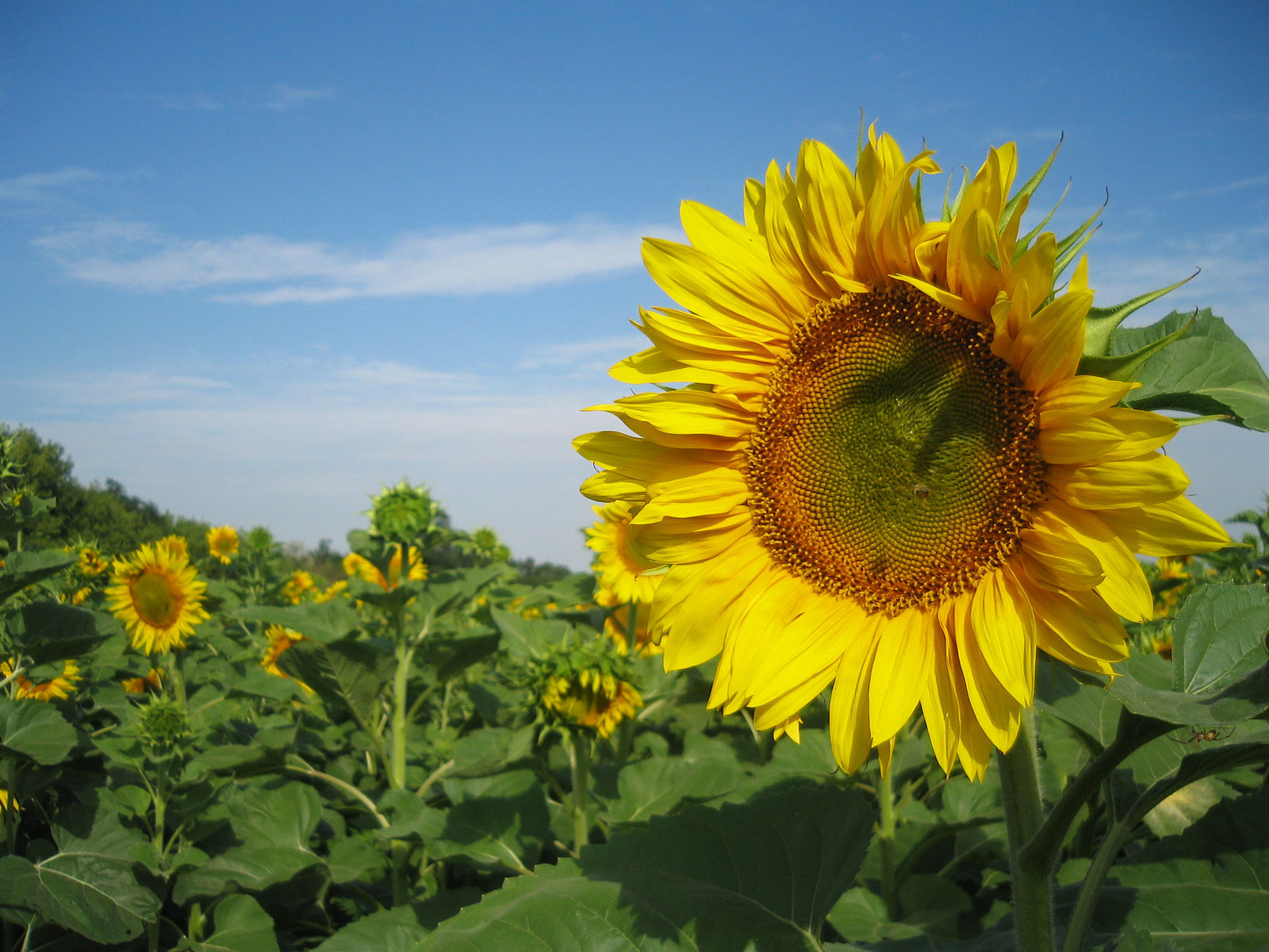 Sunflowers Nature Wallpapers HD Wallpapers 1600x1200