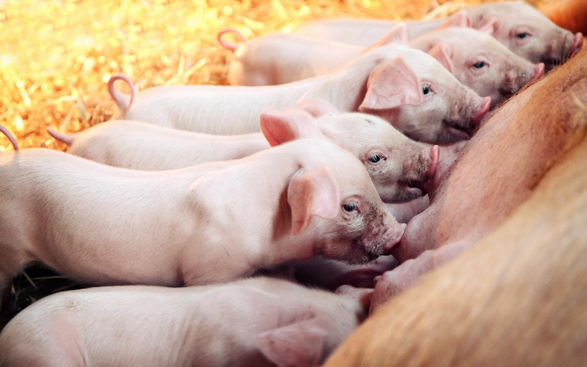 Pig Desktop Wallpaper Animal   pig wallpaper 1920x1200