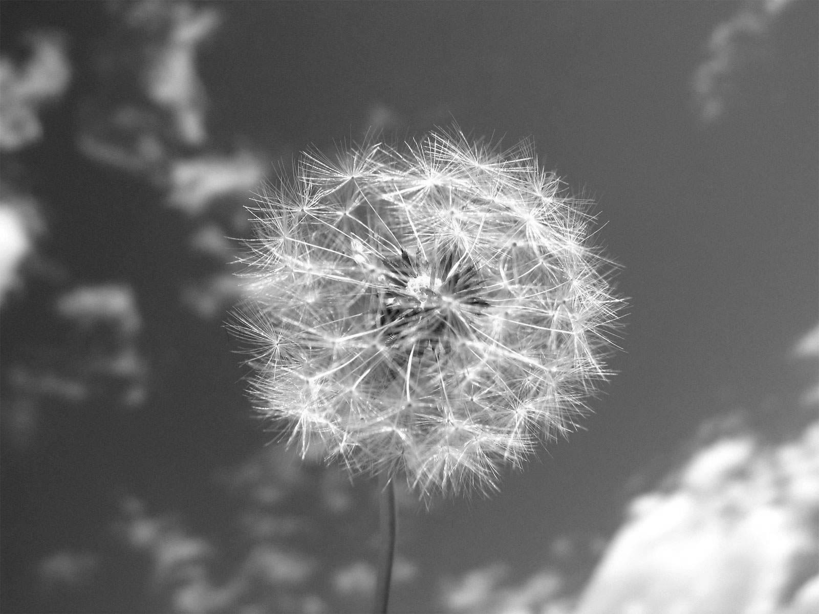 Black and White Wallpapers Dandelion and Sky Black and White 1600x1200
