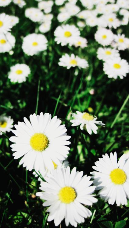 daisy flowers iphone wallpaper Tumblr 423x750