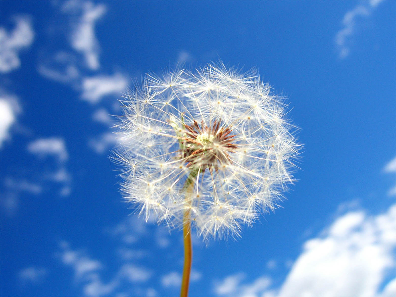 Tag Dandelion Flowers Wallpapers Backgrounds Paos Images and 1600x1200