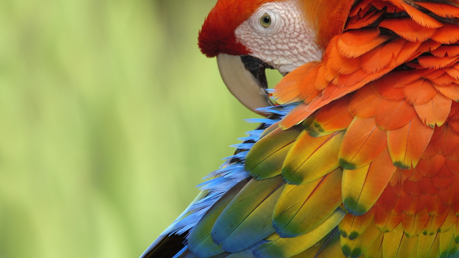 Parrot Wallpaper HD Wallpapers Pictures Images Backgrounds 1600x900 1600x900