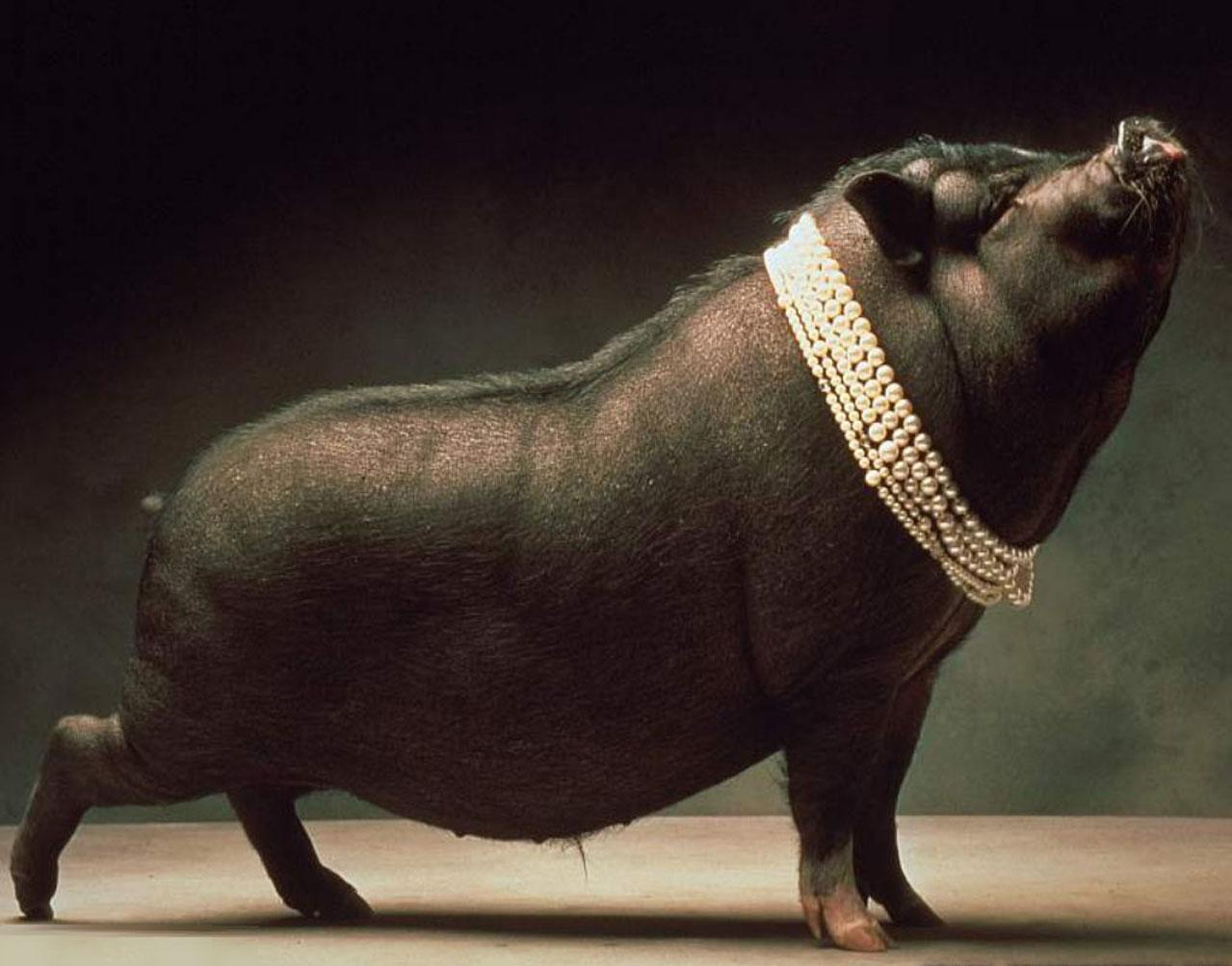 Pig Wallpapers Animals Library 1279x1003