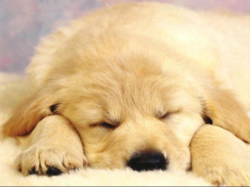free wallpaper pc computer wallpaper download Dog sleeping 800x600