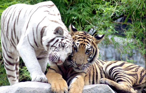 Wallpaper tigers white tigers cats couple wallpapers cats 596x380