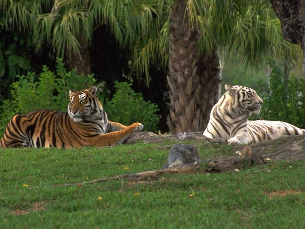 White Tigers Wallpaper Zoom 1024x768