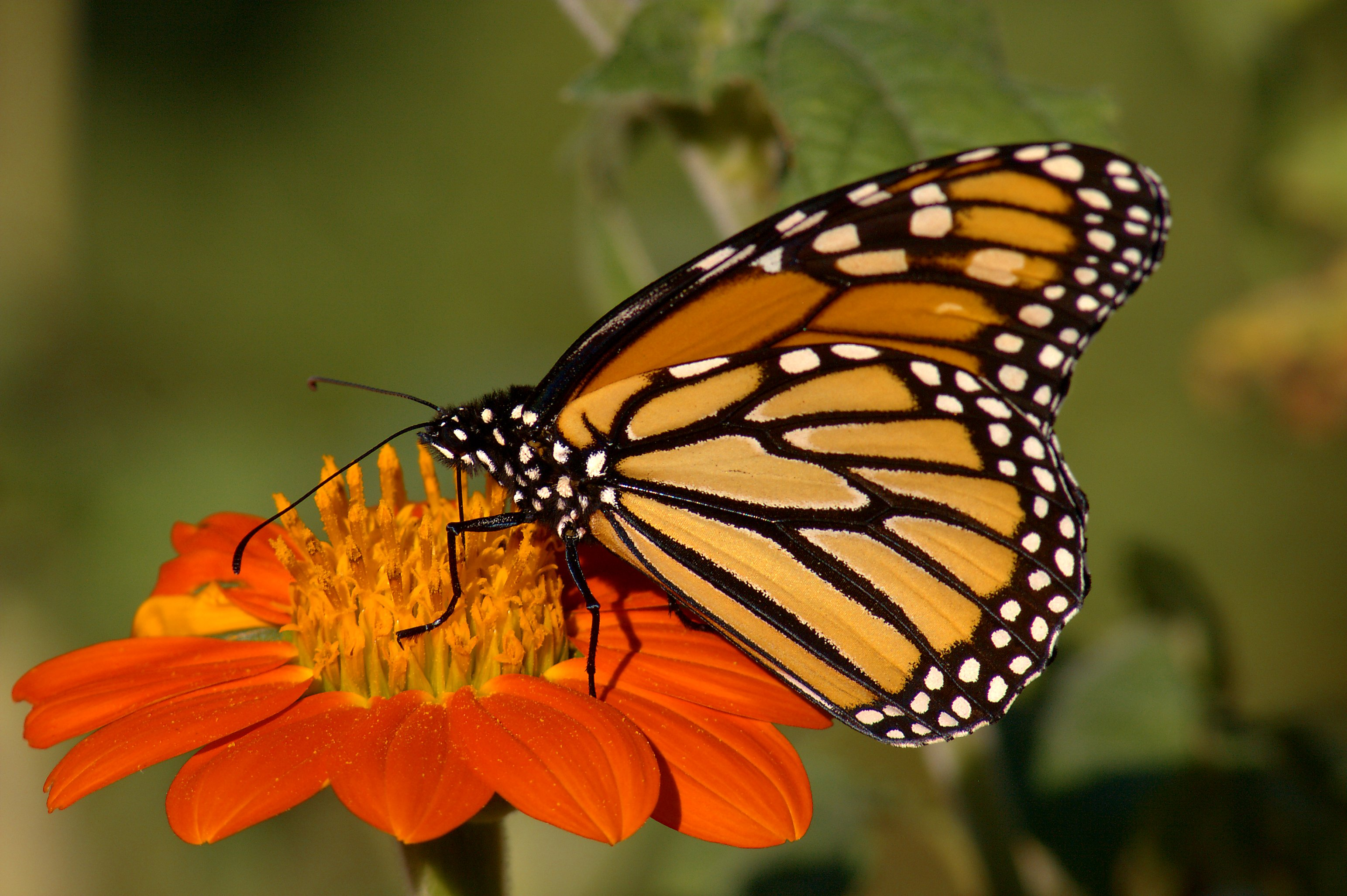 Monarch Butterfly 12 Hd Wallpaper   Hivewallpapercom 3086x2054
