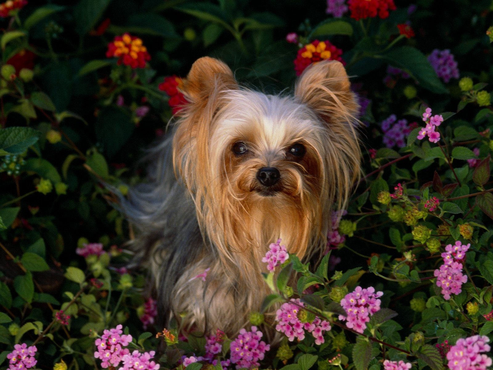 1024x768 wallpaper of yorkies - photo #19