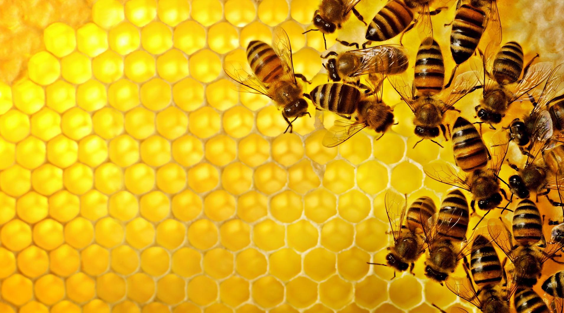 File Name Honey Bee Desktop Wallpapers 1910x1060